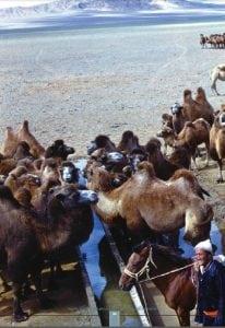 mongolian bacterian camels drinking water in gobi