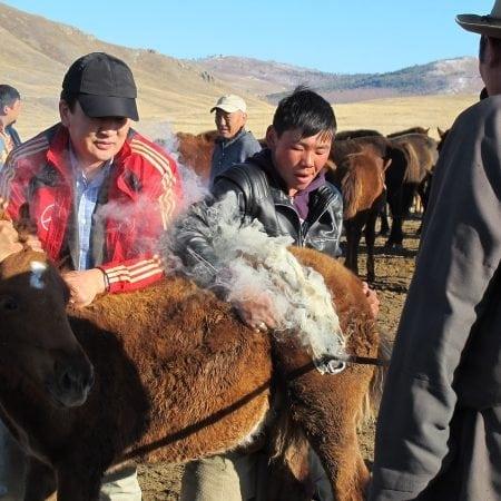 How Do Mongolians Board Their Foals?