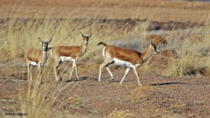 young antelopes