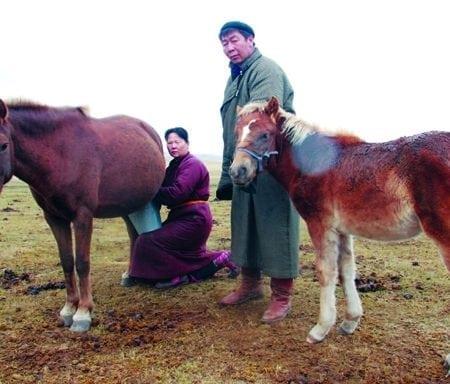 Mongolian Traditional Mare Milking